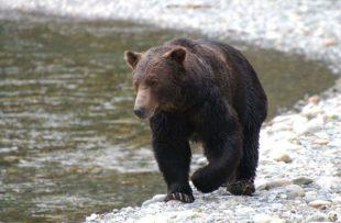 Grizzly bear 3 - CRWW