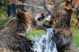 Grizzly bear - pixabay