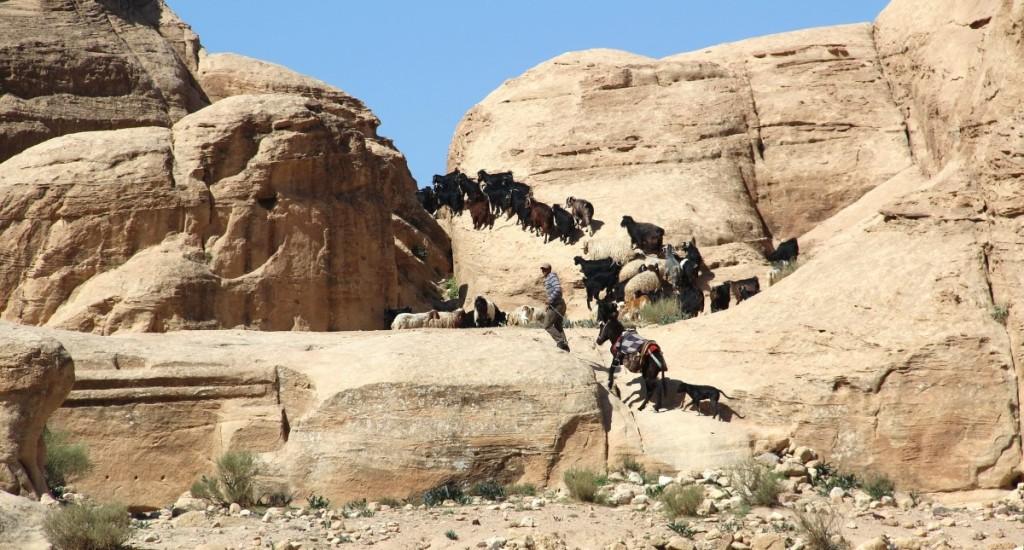 Shepherd in Jordan (Dhruv)