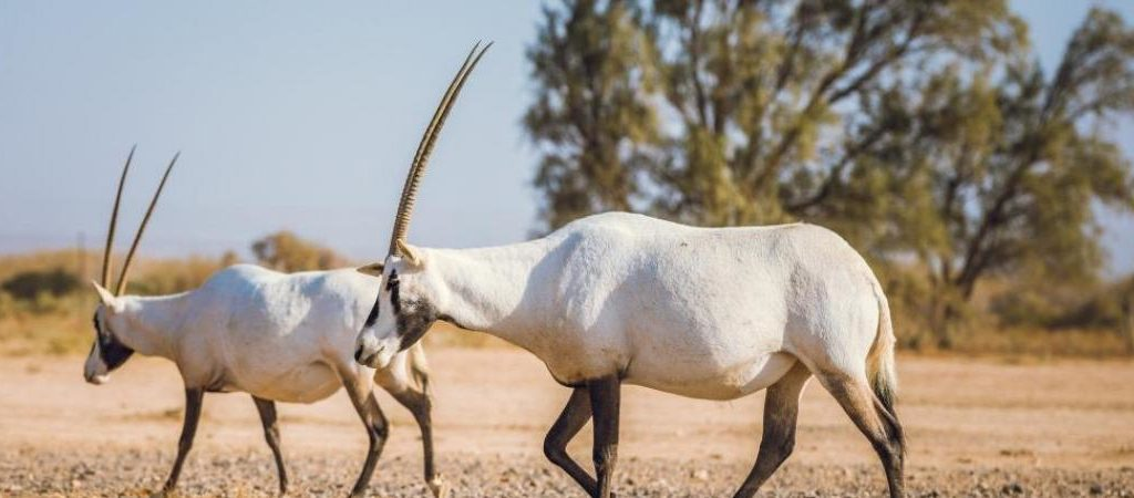 haumari-wildlife-reserve-Oryx