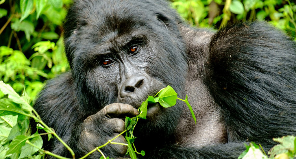 10 days in Uganda_mountain gorilla trekking
