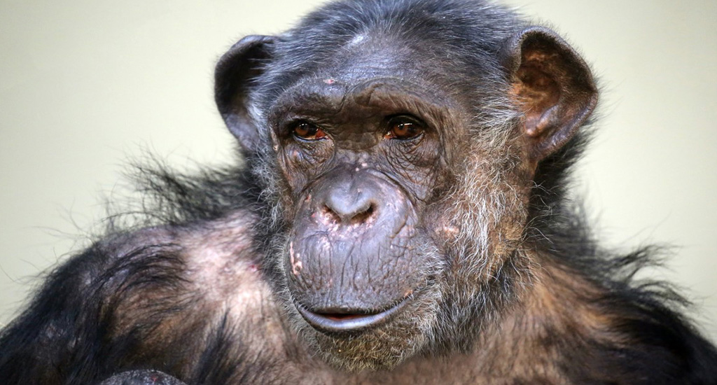 Chimpanzee trekking in Kyambura Gorge - 10 days in uganda