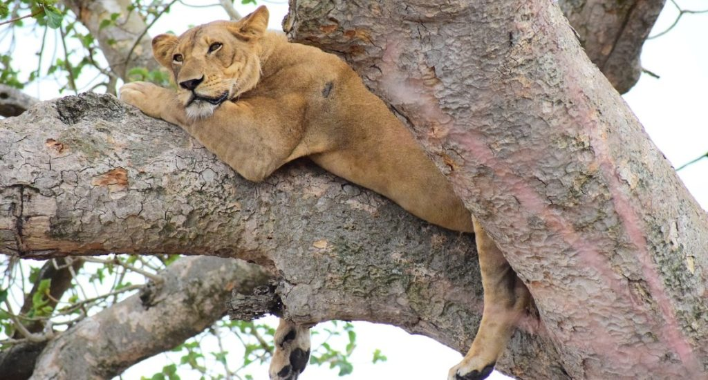 Tree climbing lion 10 days in Uganda