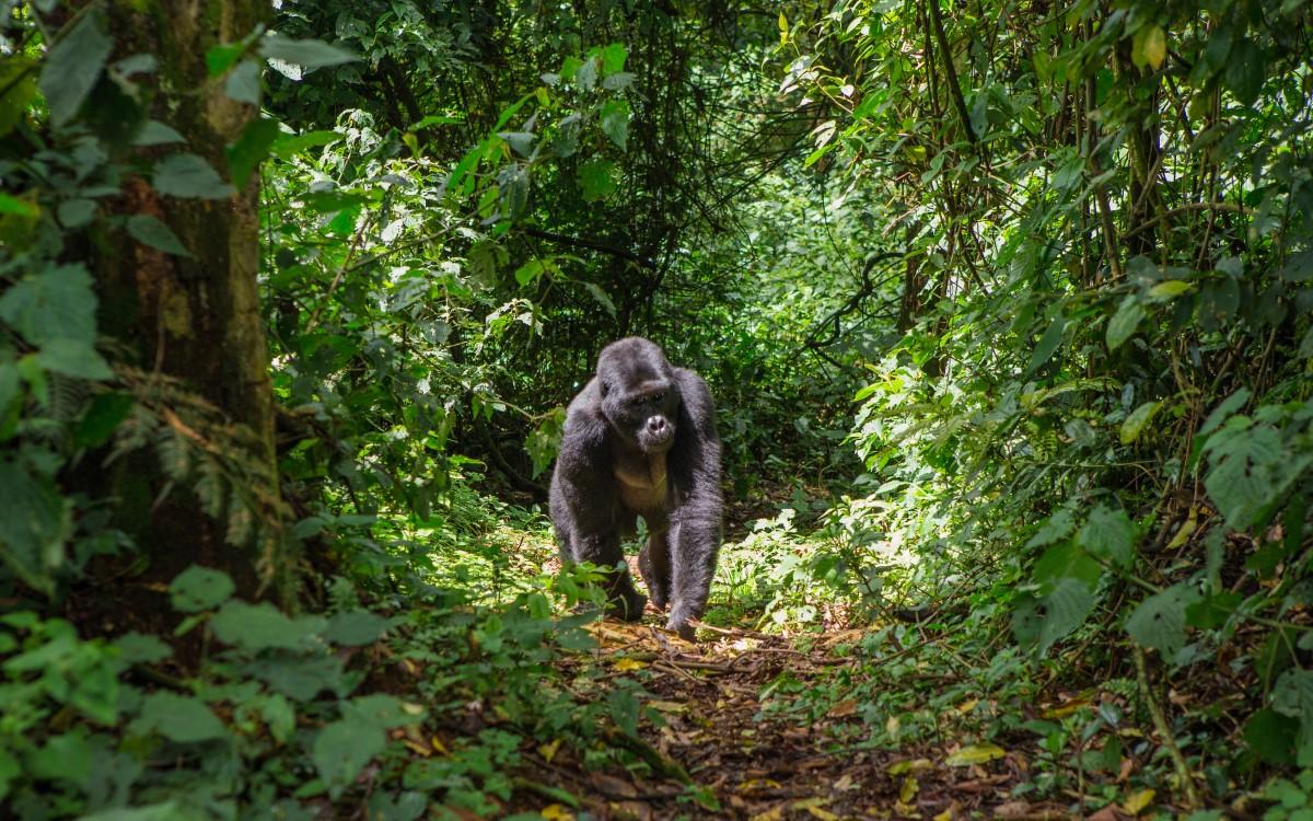 Dominant male mountain gorilla in rainforest. Uganda. Bwindi Impenetrable Forest National Park - 10 days in Uganda.