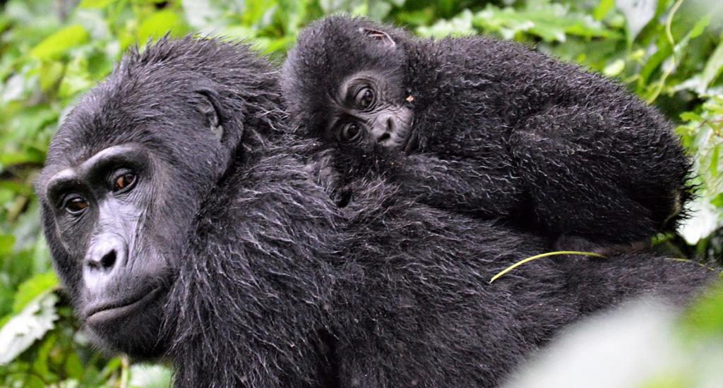 Baby Gorilla - 10 days in Uganda