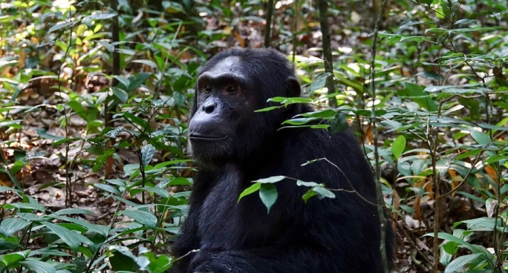 Chimpanzee tracking in Kibale Forest, 10 days in Uganda