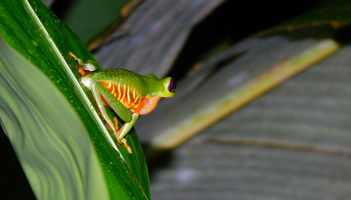 treefrog in Monteverde Cloud Forest Costa Rica