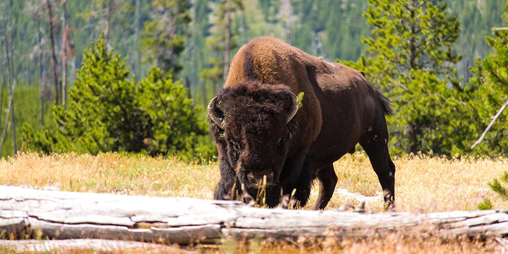 Bison_canada wildlife