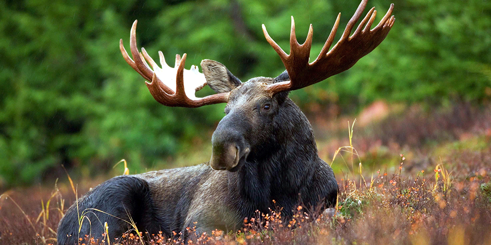 Moose canada wildlife holiday