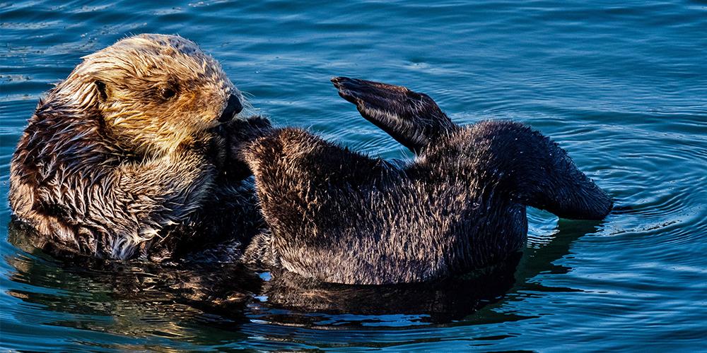 sea otter canada wildlife holiday