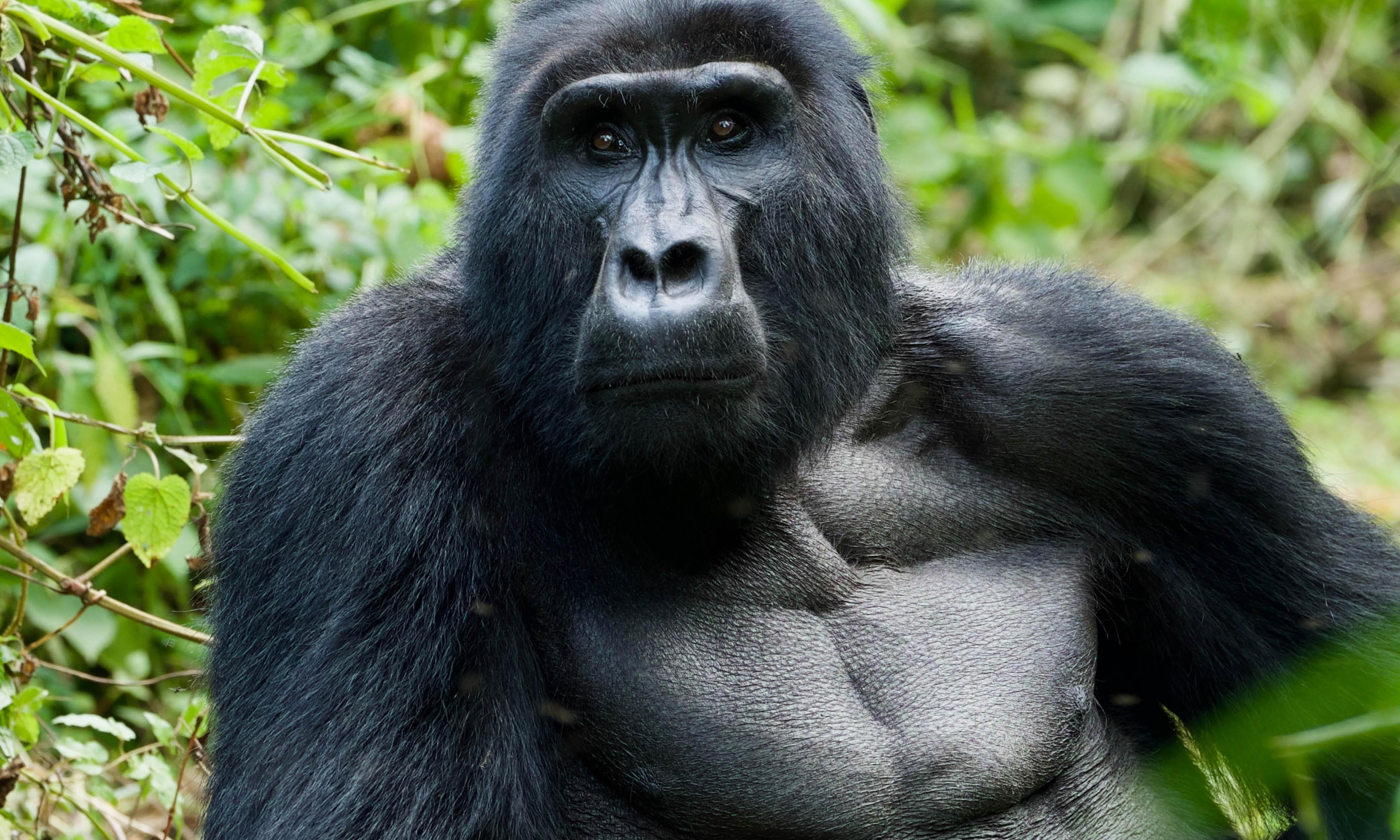 Trek with the mountain gorillas Uganda