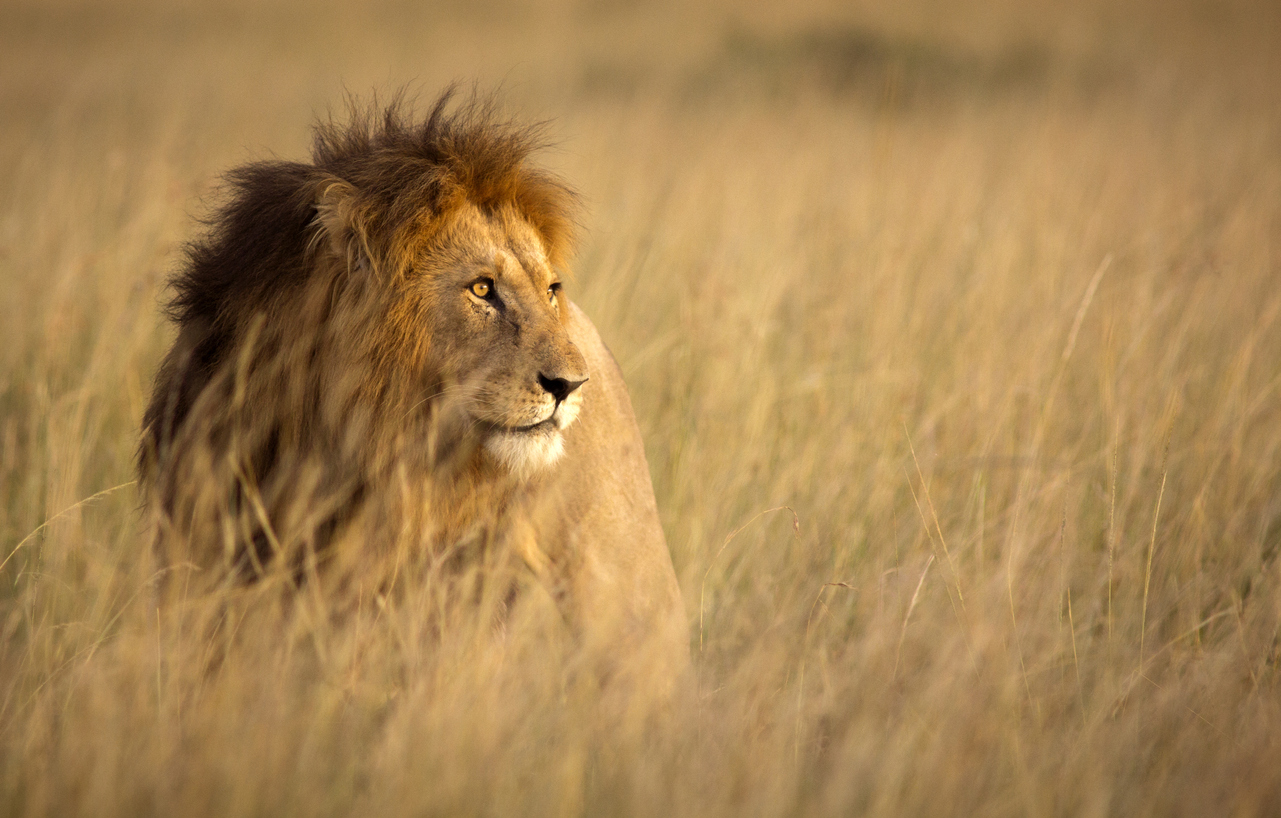 Lion on safari on South Africa holiday