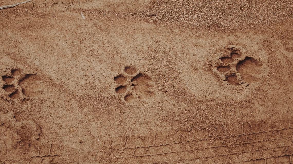 Lion tracks safari South Africa